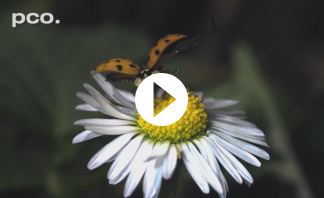 SLow Motion of Ladybugs XXL with pco.dimax